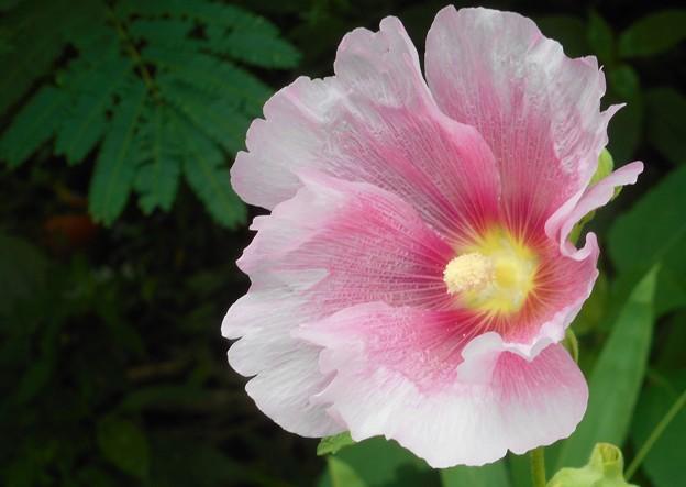 高原に咲く タチアオイの花(2)