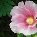Photos: 高原に咲く タチアオイの花(2)