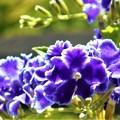 デュランタの花盛り@海の日