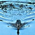 スイスイと元気に泳ぐカルガモ成鳥@夕暮れの水路