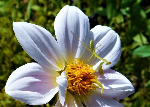 Photos: 白い大輪の花にキュートなカマキリくん幼虫@瑠璃山周辺