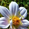 白い大輪の花にキュートなカマキリくん幼虫@瑠璃山周辺