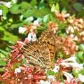 猛暑の夏も元気に飛翔@アベリアの花にツマグロヒョウモン(♂)