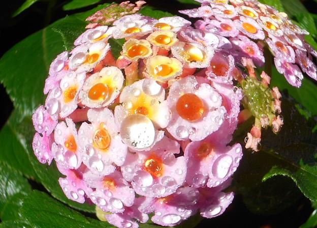 Photos: 朝のランタナの花と水玉
