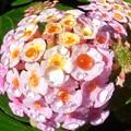 朝のランタナの花と水玉