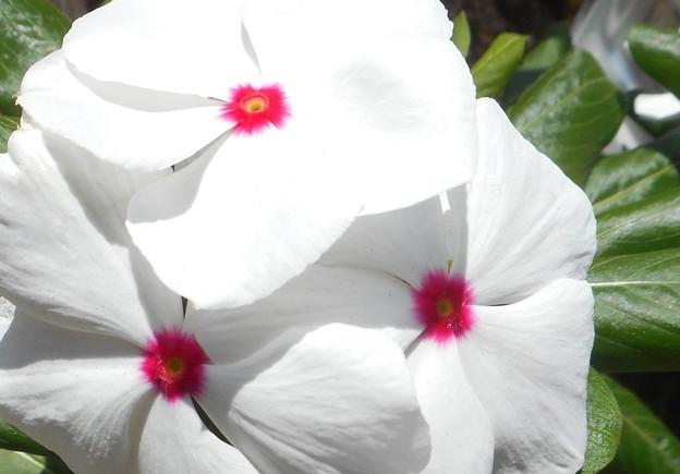 夏の朝日に輝く@白い花21.7.26