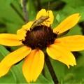 Photos: ルドベキアに元気な夏の虫@びんご運動公園