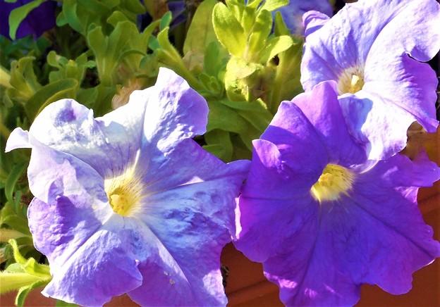 夏の朝に咲く@ペチュニアの花(1)