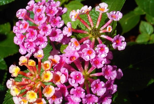 真夏の朝の水玉のキラメキ@元気なランタナの花