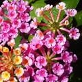 Photos: 真夏の朝の水玉のキラメキ@元気なランタナの花