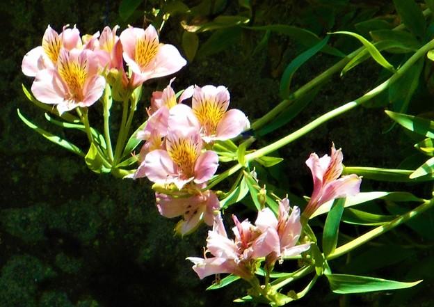 Photos: 石垣に咲く@アルストロメリアの花@瑠璃山周辺