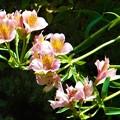 石垣に咲く@アルストロメリアの花@瑠璃山周辺