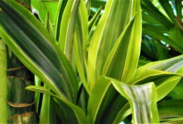 夏の観葉植物@ドラセナ・ワーネッキー・レモンライム