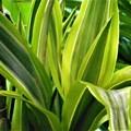 Photos: 夏の観葉植物@ドラセナ・ワーネッキー・レモンライム