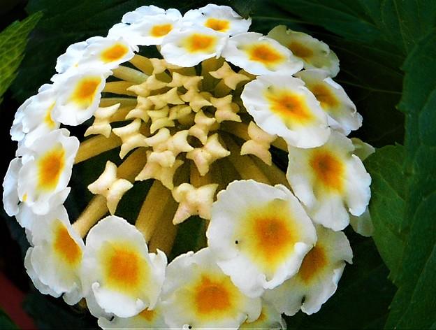 夏のランタナの花(白)