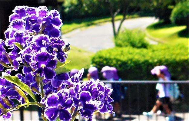 夏のデュランタの花と園児たち