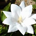八重に咲く白い桔梗(キキョウ)の花@瑠璃山周辺