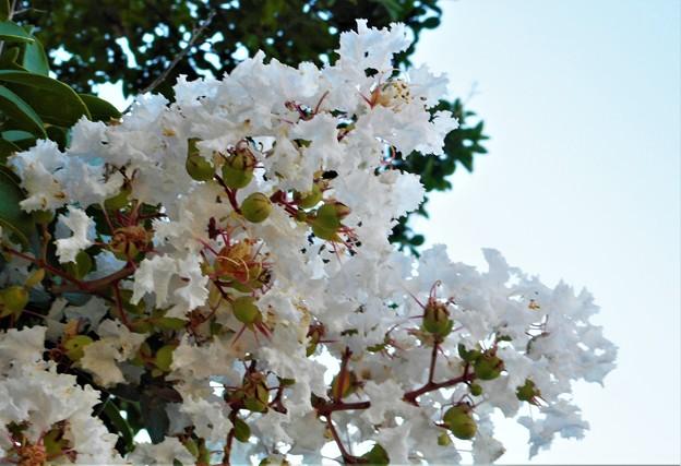 白い百日紅(さるすべり)の花