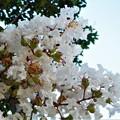 Photos: 白い百日紅(さるすべり)の花