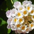 爽やかな季節@秋口に咲くライトピンク系ランタナの花と雫(しずく)21.9.6