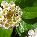 爽やかに咲く@ライトピンク系ランタナの花とその雫(シズク)21.9.6