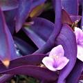 パープルハートな紫御殿(ムラサキゴテン)@ツユクサ科21.9.4