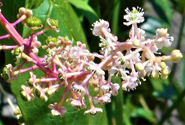 ヨウシュヤマゴボウの花と実@瑠璃山周辺21.8.25