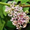 晩夏のヨウシュヤマゴボウの花と実@瑠璃山周辺