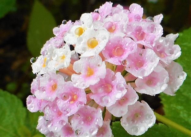 秋雨前線とランタナの花@21.9.12