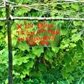Photos: 気になるXiN DUNG・・・・@近場の農園にて21.9.14