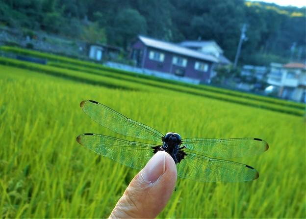 Photos: 秋の田のオオシオカラくん@久山田源地21.9.18