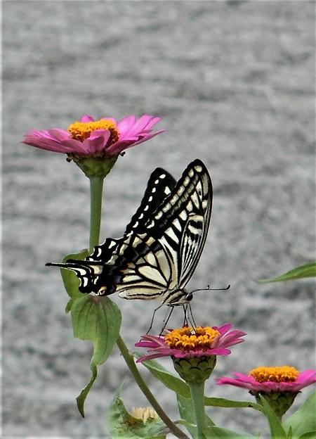 花(百日草)と蝶と@びんご運動公園21.9.4