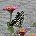 Photos: 花(百日草)と蝶と@びんご運動公園21.9.4