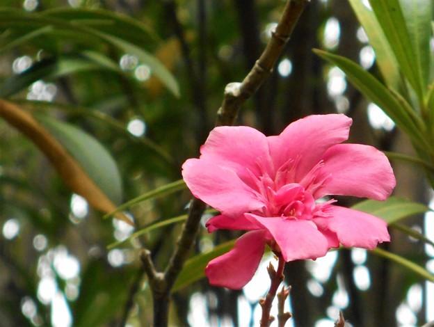 八重に咲く 夾竹桃の紅い花@新高山周辺21.9.29