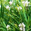 秋の生姜(しょうが)の白い花@21.10.3