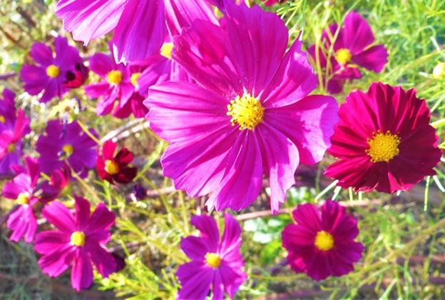 秋晴れの コスモス街道に咲く@21.10.4