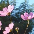 秋晴れの空に咲く@秋桜の花21.10.4