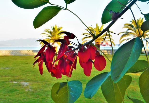 アメリカデイゴの赤い花@瀬戸内海B&Gマリン・ユース・センター@21.10.8