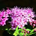 秋に咲くシモツケの花@散歩道21.10.14