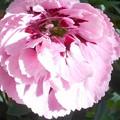 秋に咲く桃色カーネーション@21.10.22