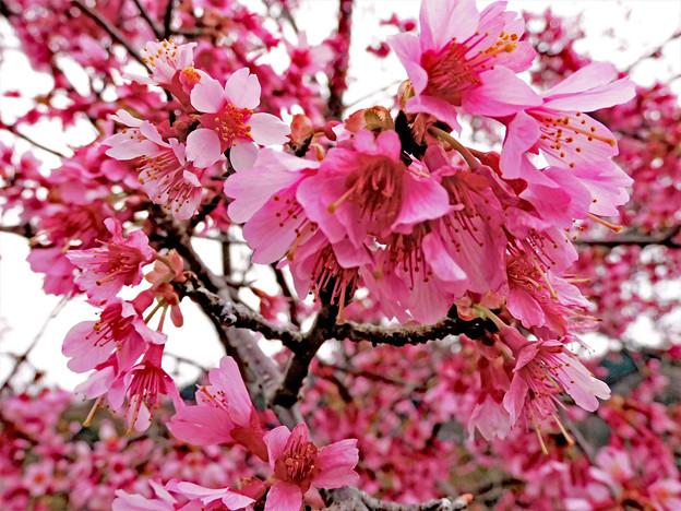 おかめ桜 1