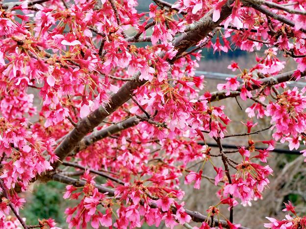 おかめ桜 2