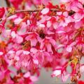 おかめ桜 3