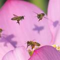 Photos: ニホンミツバチとセイヨウミツバチ