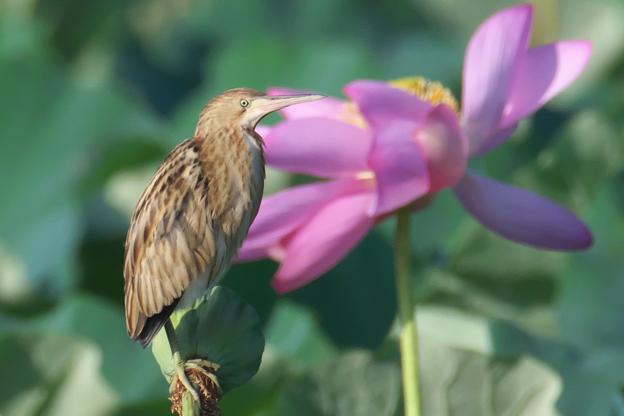 ヨシゴイとハスの花