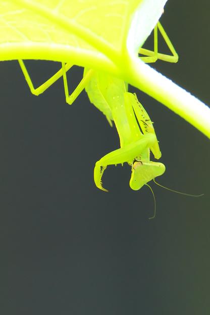 ハラビロカマキリ(幼虫)