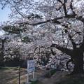 桜 2021 (2)