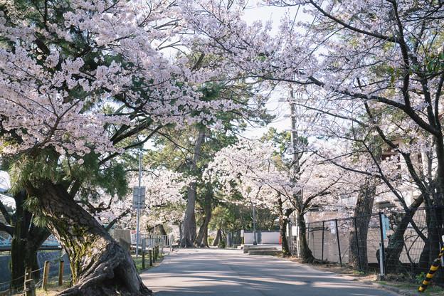 Photos: 桜 2021 (4)