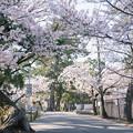 桜 2021 (4)