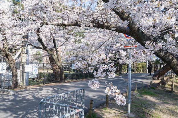 桜 2021 (6)